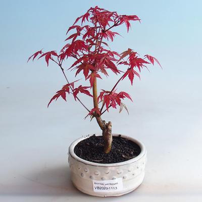 Outdoor bonsai - Maple palmatum DESHOJO - Maple palmate - 1