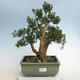 Indoor bonsai - Buxus harlandii - Cork boxwood - 1/6