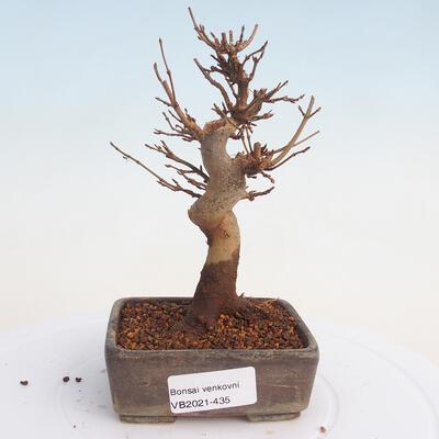 Outdoor bonsai - Buergerianum Maple - Burger Maple - 1
