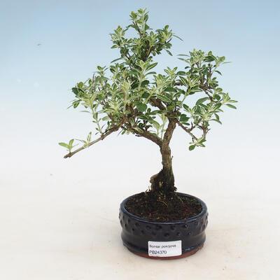 Indoor bonsai - Serissa foetida - Tree of a Thousand Stars