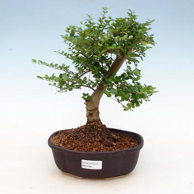 Indoor bonsai -Ligustrum retusa - small-leaved bird's beak - 1