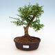 Indoor bonsai -Ligustrum retusa - small-leaved bird's beak - 1/3