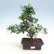 Indoor bonsai - Gardenia jasminoides-Gardenia - 1/2