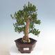 Indoor bonsai - Buxus harlandii - Cork boxwood - 1/5