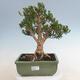 Indoor bonsai - Buxus harlandii - Cork boxwood - 1/7