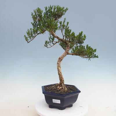 Indoor bonsai - Buxus harlandii - Cork boxwood - 1