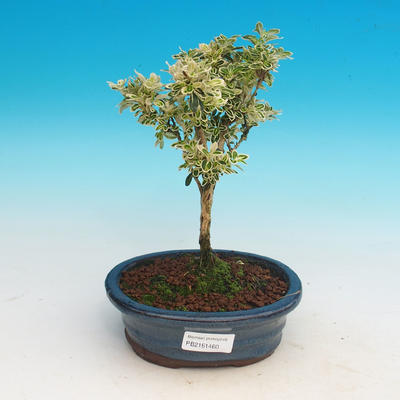 Room bonsai - Serissa foetida Variegata - Strom thousands of stars - 1