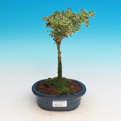 Room bonsai - Serissa foetida Variegata - Strom thousands of stars - 1