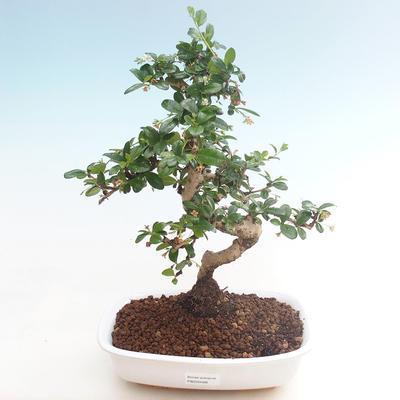 Indoor bonsai - Carmona macrophylla - Tea fuki PB220466 - 1