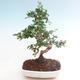Indoor bonsai - Carmona macrophylla - Tea fuki PB220466 - 1/5