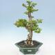 Indoor bonsai - Duranta erecta Aurea - 1/6