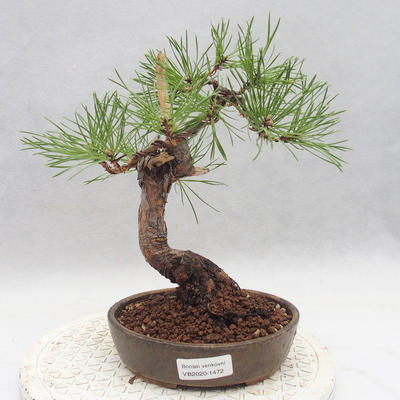 Outdoor bonsai - Pinus sylvestris - Scots pine - 1