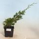 Outdoor bonsai - Pinus sylvestris - Scots pine - 1/5