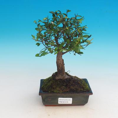 Room bonsai-Ulmus Parvifolia-Malolist elm
