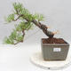 Outdoor bonsai - Pinus sylvestris - Scots pine - 1/5
