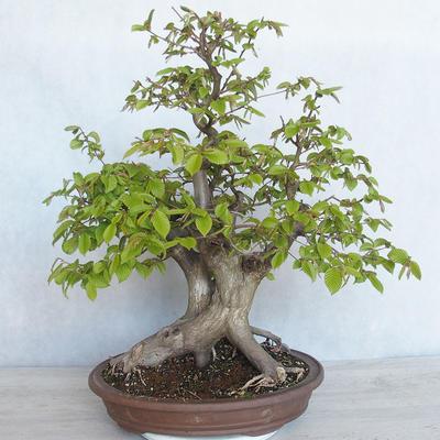 Outdoor bonsai Carpinus betulus- Hornbeam VB2020-485 - 1
