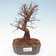 Outdoor bonsai - Zelkova - Zelkova NIRE - 1/5