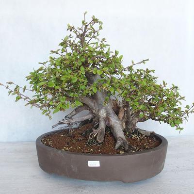 Outdoor bonsai Carpinus betulus- Hornbeam VB2020-487 - 1