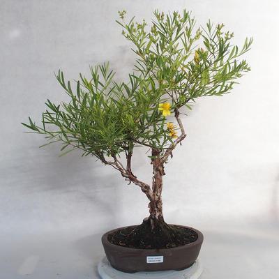 Outdoor bonsai- St. John's wort - Hypericum - 1