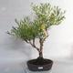 Outdoor bonsai- St. John's wort - Hypericum - 1/6
