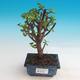 Room bonsai - Portulakaria Afra - Tlustice - 1/2