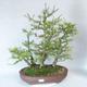Outdoor bonsai -Larix decidua - Larch - 1/5