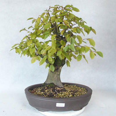 Outdoor bonsai - Hornbeam - Carpinus betulus - 1