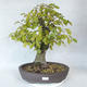 Outdoor bonsai - Hornbeam - Carpinus betulus - 1/5