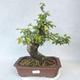 Outdoor bonsai-Ulmus Glabra-Solid clay - 1/5