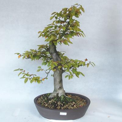 Outdoor bonsai - Hornbeam - Carpinus betulus - 1