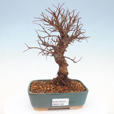 Outdoor bonsai - Hawthorn - Crataegus - 1
