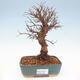 Outdoor bonsai - Hawthorn - Crataegus - 1/5