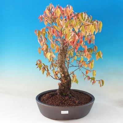 Outdoor bonsai - Dwarf - Cornus mas - 1