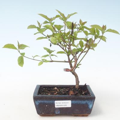Outdoor bonsai - Dogwood - Cornus mas VB2020-520 - 1