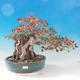 Outdoor bonsai -Carpinus CARPINOIDES - Korean horn - 1/2