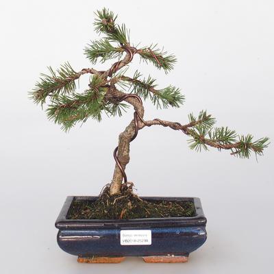 Outdoor bonsai - Pinus mugo - Pine kneec