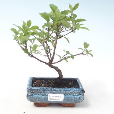 Outdoor bonsai - Dogwood - Cornus mas VB2020-512 - 1