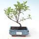 Outdoor bonsai - Dogwood - Cornus mas VB2020-512 - 1/2