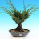 Yamadori Juniperus chinensis - juniper - 1/6