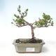 Outdoor bonsai - dwarf birch - Betula NANA VB2020-530 - 1/2