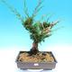 Yamadori Juniperus chinensis - juniper - 1/5