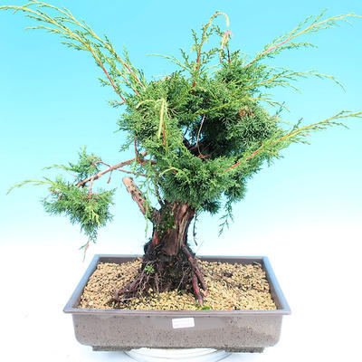 Yamadori Juniperus chinensis - juniper - 1