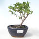Outdoor bonsai - dwarf birch - Betula NANA VB2020-534 - 1/2