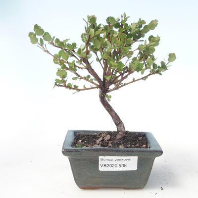 Outdoor bonsai - dwarf birch - Betula NANA VB2020-538 - 1