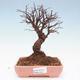 Outdoor bonsai - Zelkova - Zelkova NIRE - 1/5