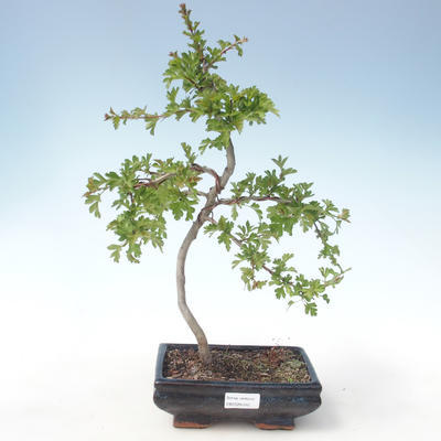 Outdoor bonsai - Hawthorn single seed VB2020-545