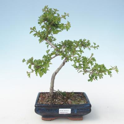Outdoor bonsai - Hawthorn single seed VB2020-546