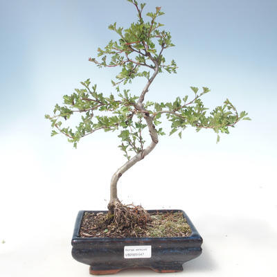 Outdoor bonsai - Hawthorn single seed VB2020-547