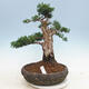 Outdoor bonsai - Juniperus chinensis - Chinese juniper - 1/5