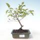 Outdoor bonsai - Dogwood - Cornus mas VB2020-514 - 1/2